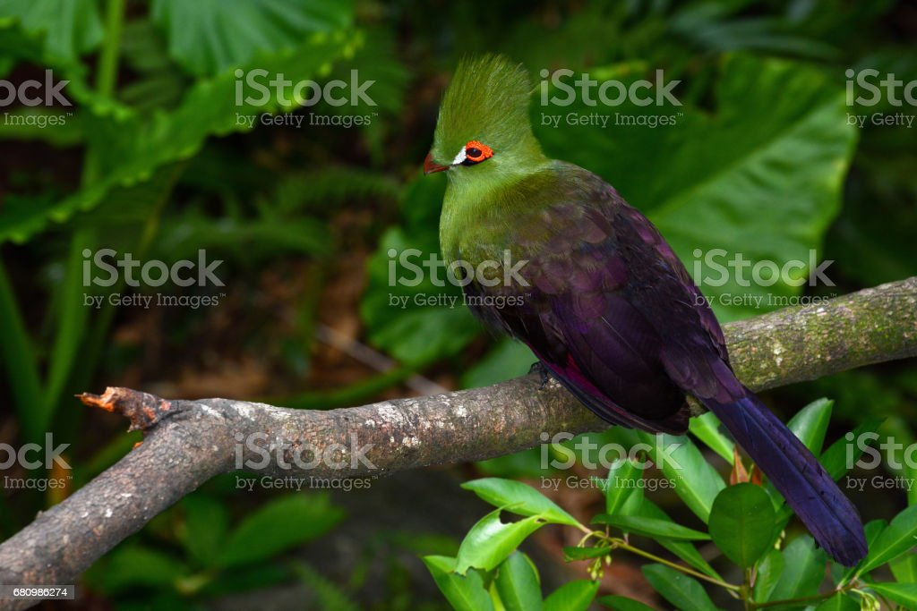 Guinea turaco sitting on a branch, also known by its scientific name Tauraco persa stock photo