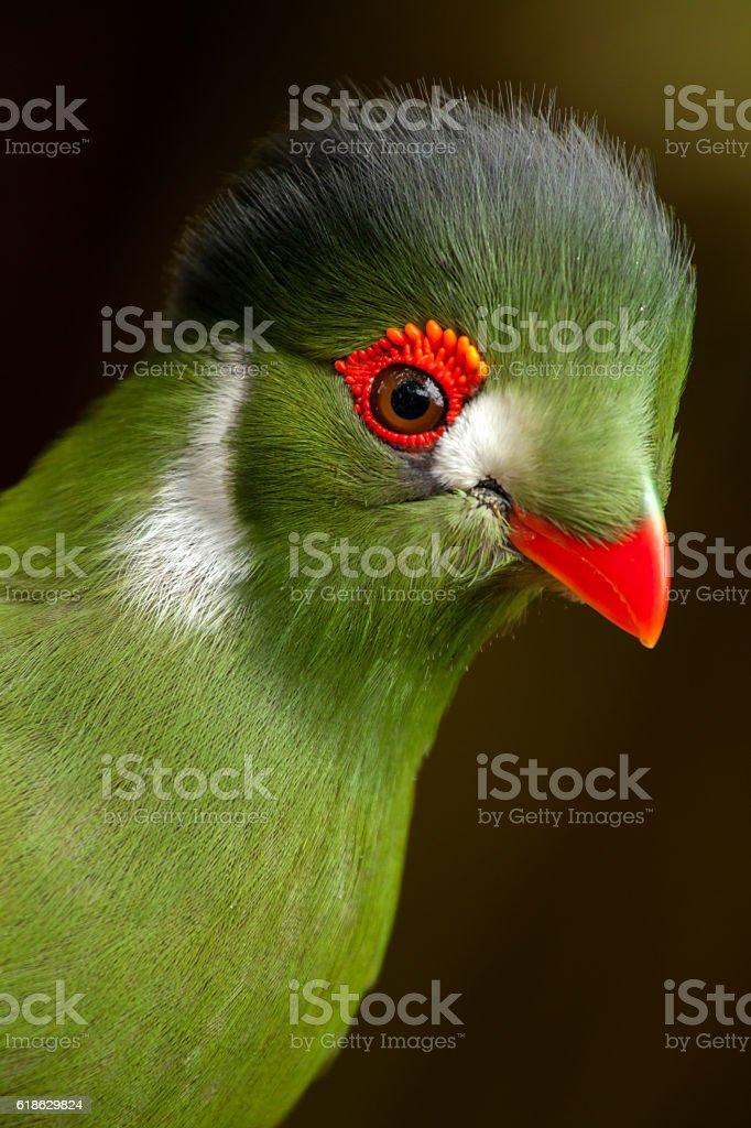 Guinea turaco - Tauraco persa stock photo