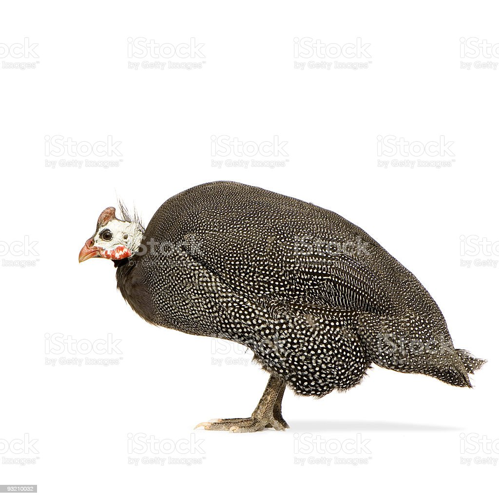 Guineafowl royalty-free stock photo