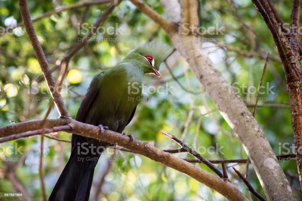 A single Guinea Turaco sits on a branch in a Knysna forest alone....