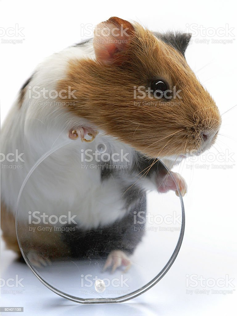 guinea-pig royalty-free stock photo