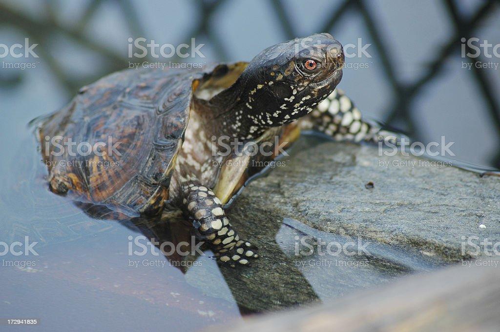 Gulf Coast Box Turtle stock photo