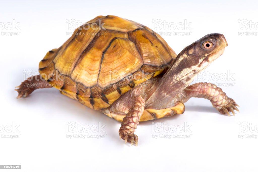 Gulf Coast box turtle, Terrapene carolina major stock photo