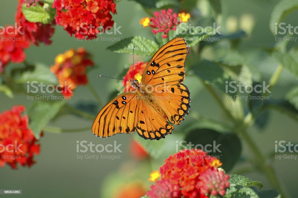 Gulf Fritillary Butterfly royalty-free stock photo