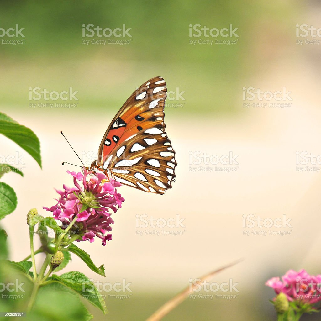 Gulf Fritillary Passion Butterfly Profile view wing underside square format stock photo