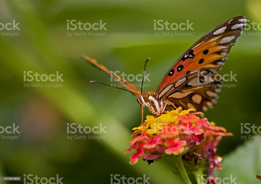 Gulf Fritillary stock photo
