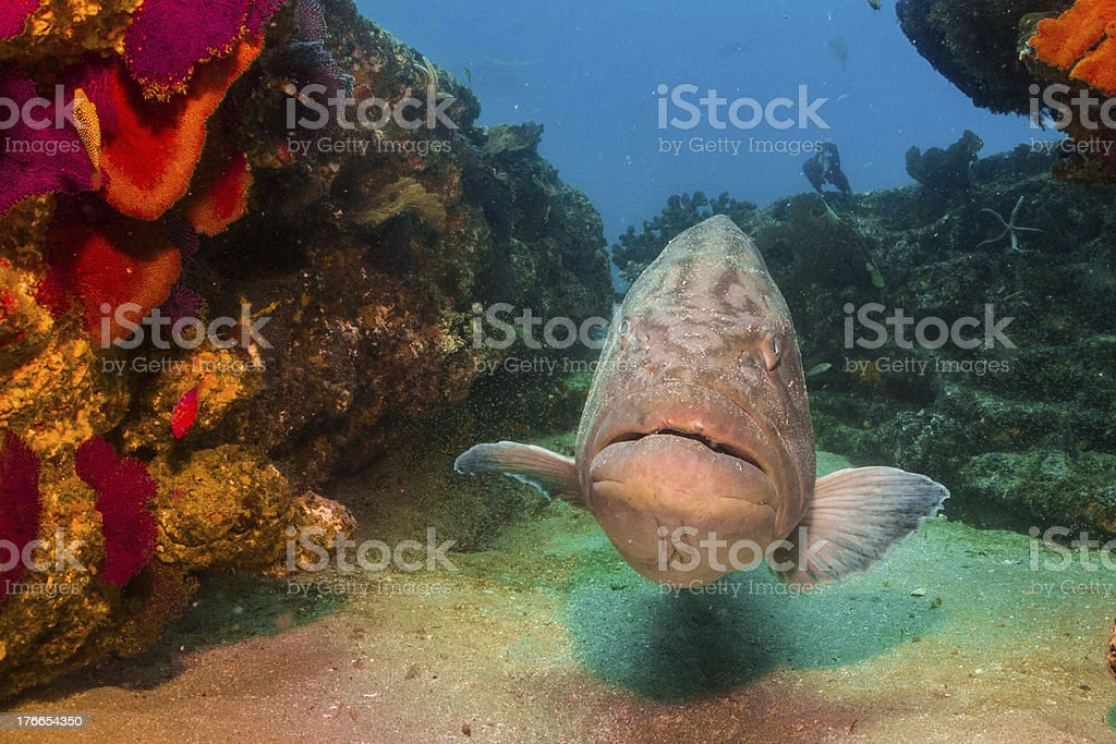 Gulf Grouper (Mycteroperca jordani) royalty-free stock photo