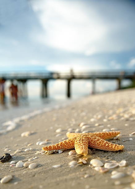 Gulf of Mexico,Naples pier,starfish Gulf of mexico naples pier,sunset,starfish naples florida stock pictures, royalty-free photos & images