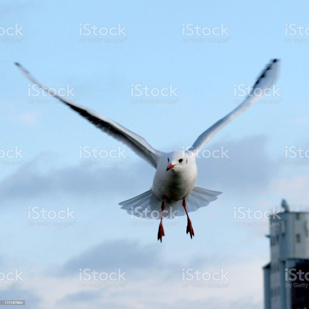 Gull at flight royalty-free stock photo