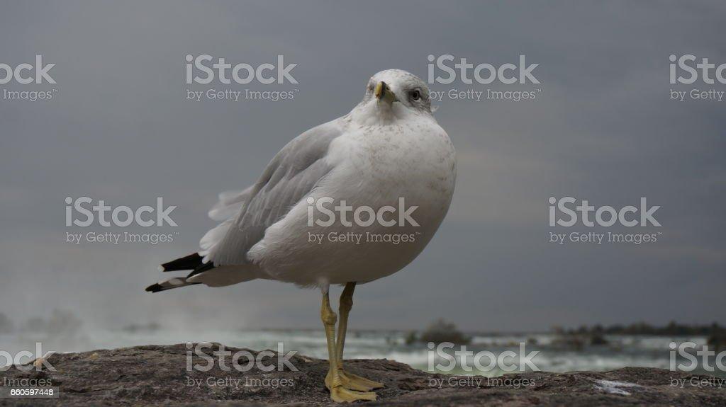 Gull at Niagara Falls royalty-free stock photo