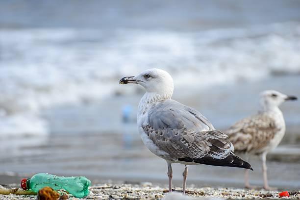 gabbiano tra rifiuti sulla spiaggia a napoli - uccello marino foto e immagini stock