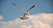 Sea gull at cadtle Miramare