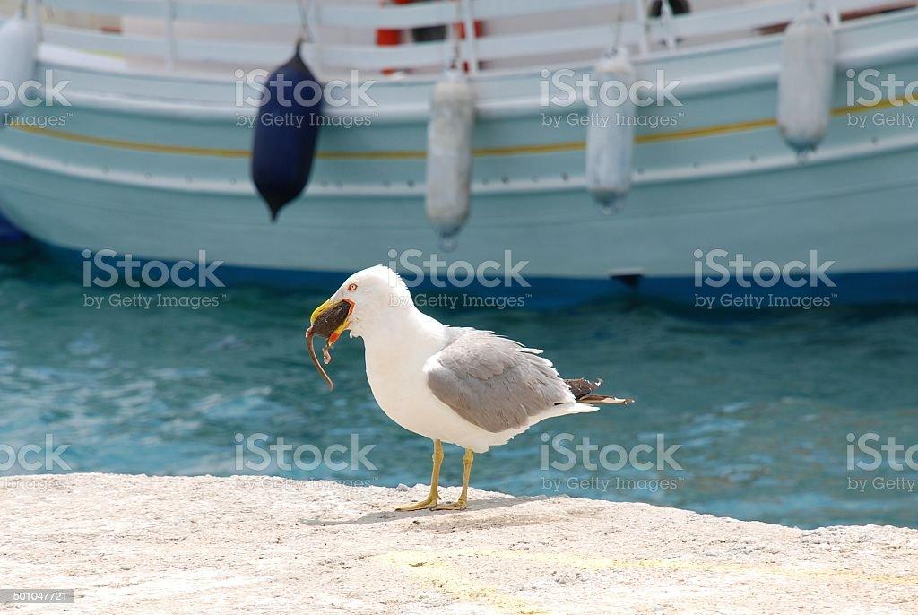 Gull eating a rat, Skiathos stock photo