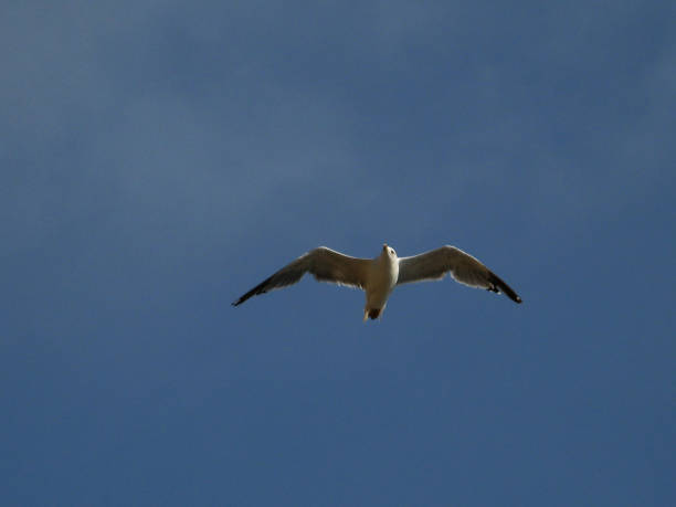 Gull flight – Foto