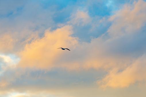 Gull flying in a blue cloudy sky in winter
