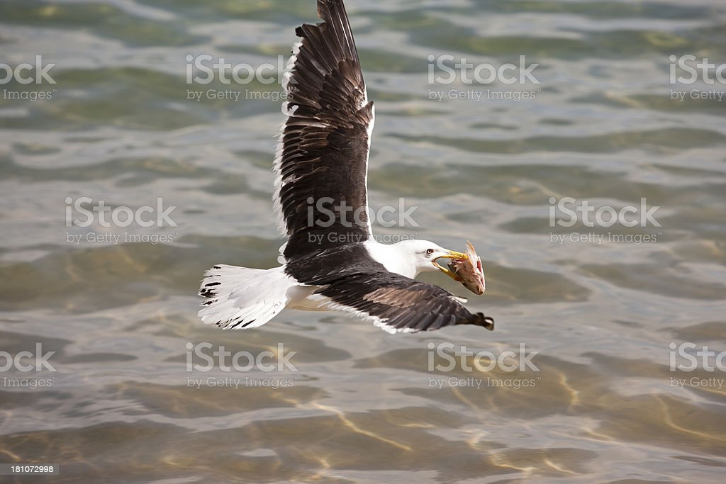 Gull flying with fish in beak royalty-free stock photo