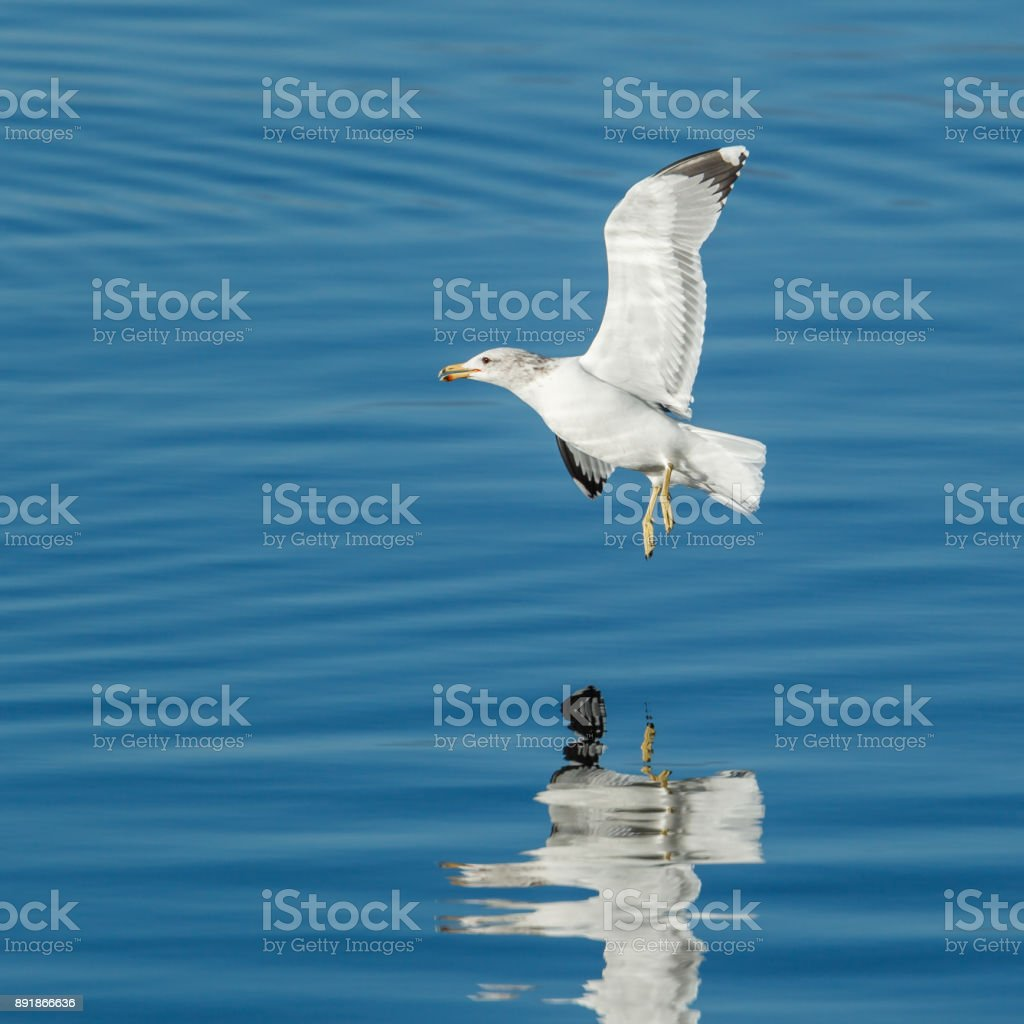 Gull hovers just above the water. stock photo