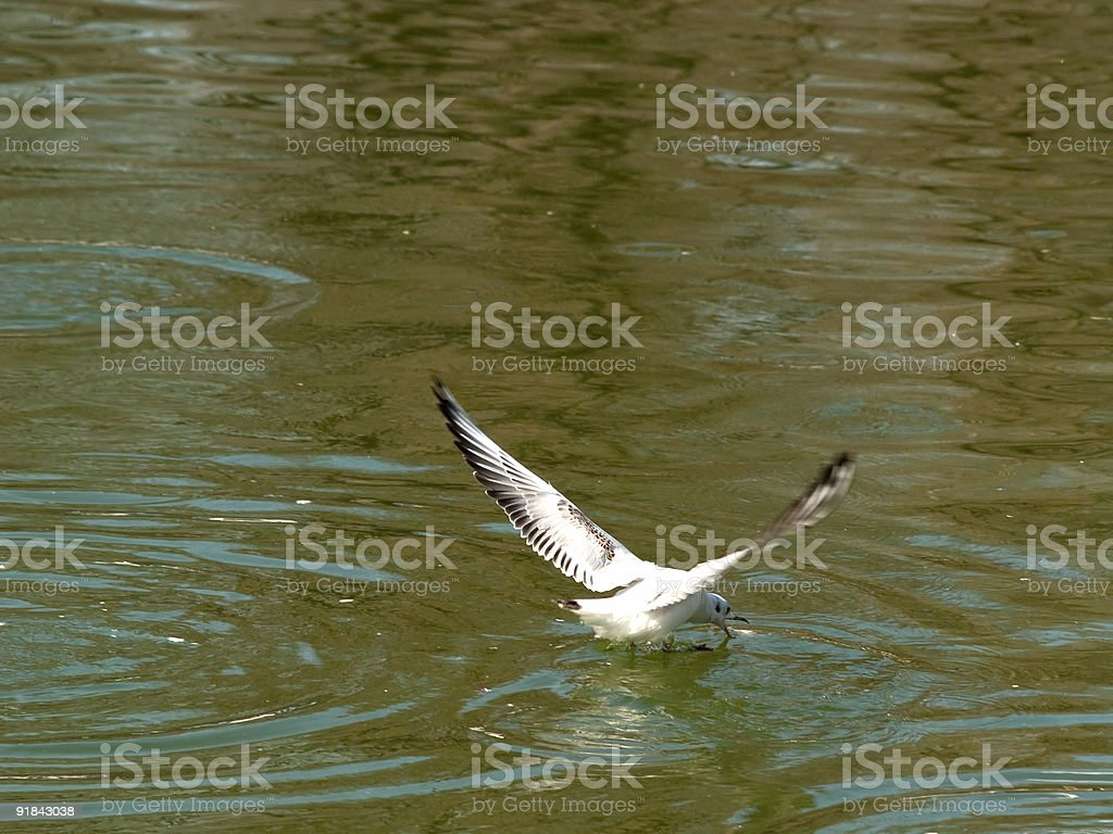 Gull hunting royalty-free stock photo
