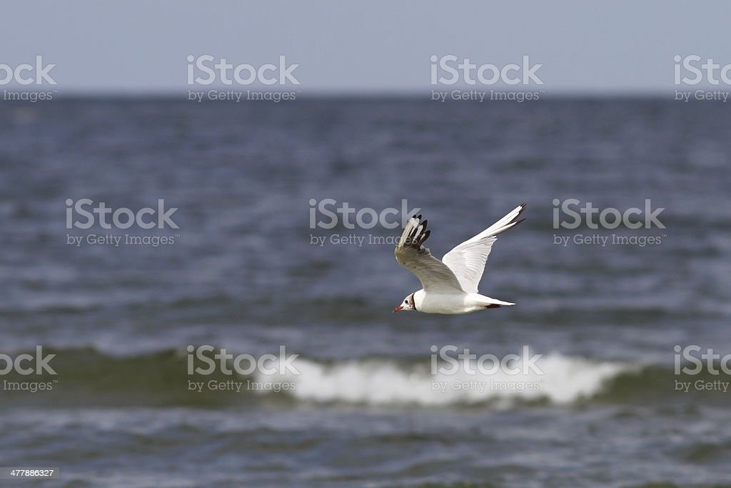 gull in flight over the sea royalty-free stock photo
