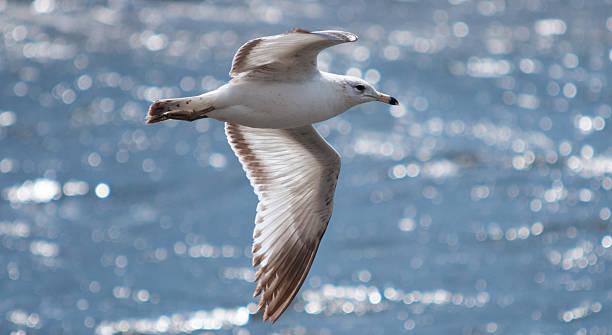 Gull in flight stock photo