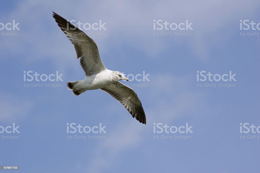 Gull in flight royalty free stockfoto