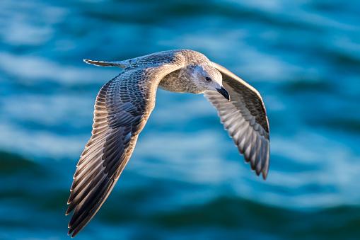 Portrait of herring gull (Larus argentatus)