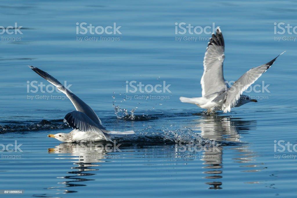 Gull makes splash in landing. stock photo