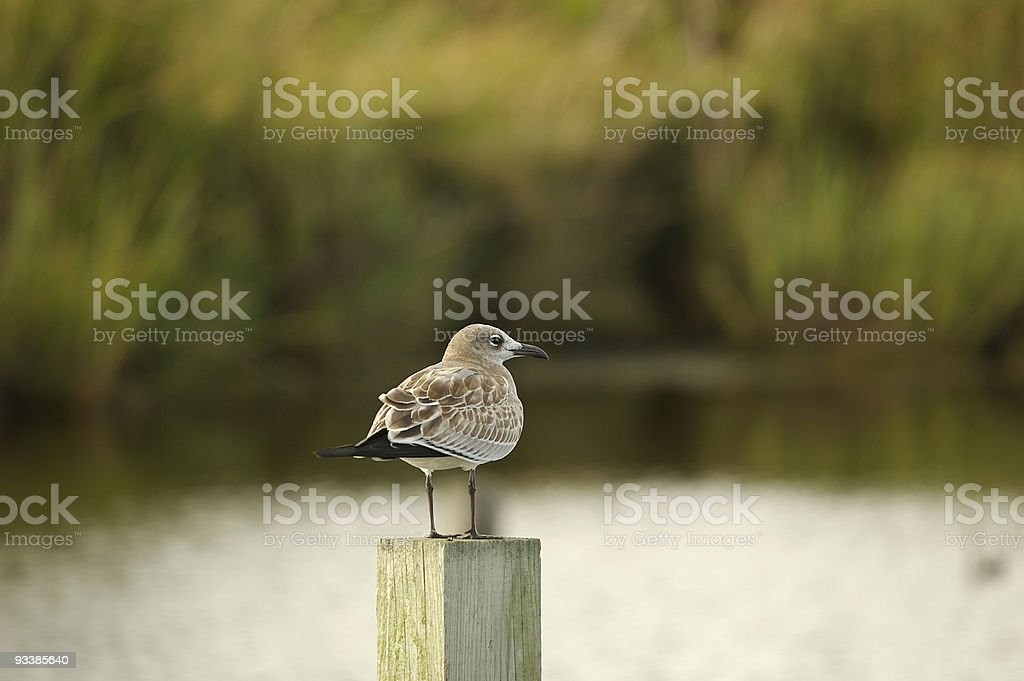 Gull on a piling stock photo