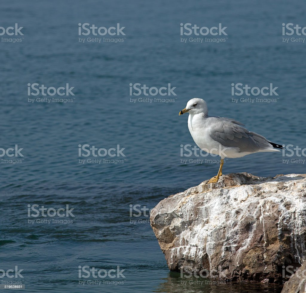 Gull On A Rock stock photo
