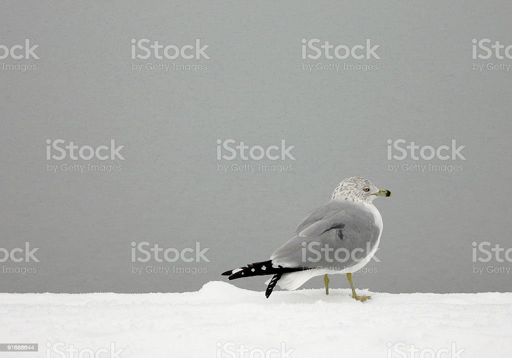 Gull on Frozen Pond stock photo