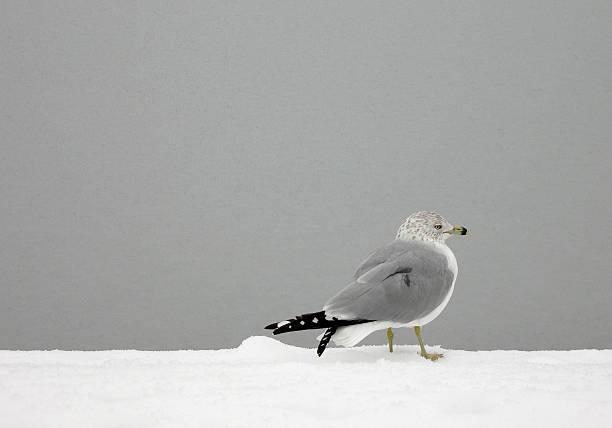 Gull on Frozen Pond stock photo