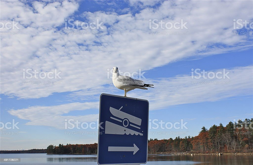 Gull on Maine lake in fall stock photo
