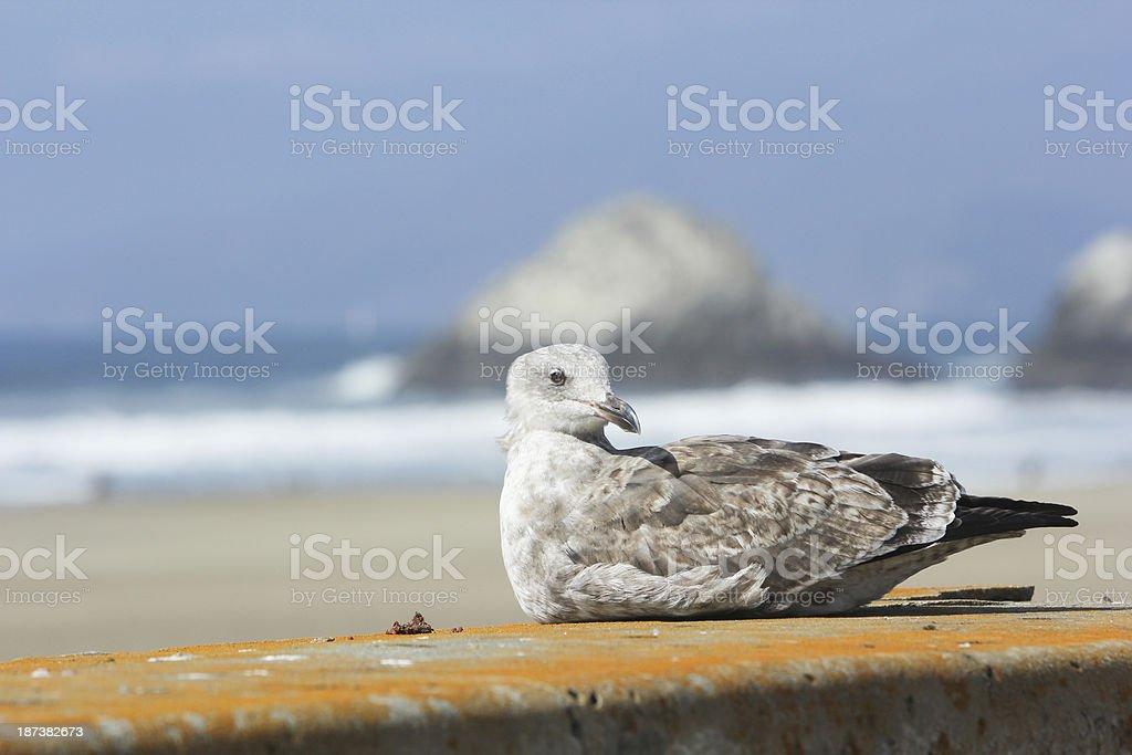 Gull on Ocean Beach in San Francisco, California royalty-free stock photo