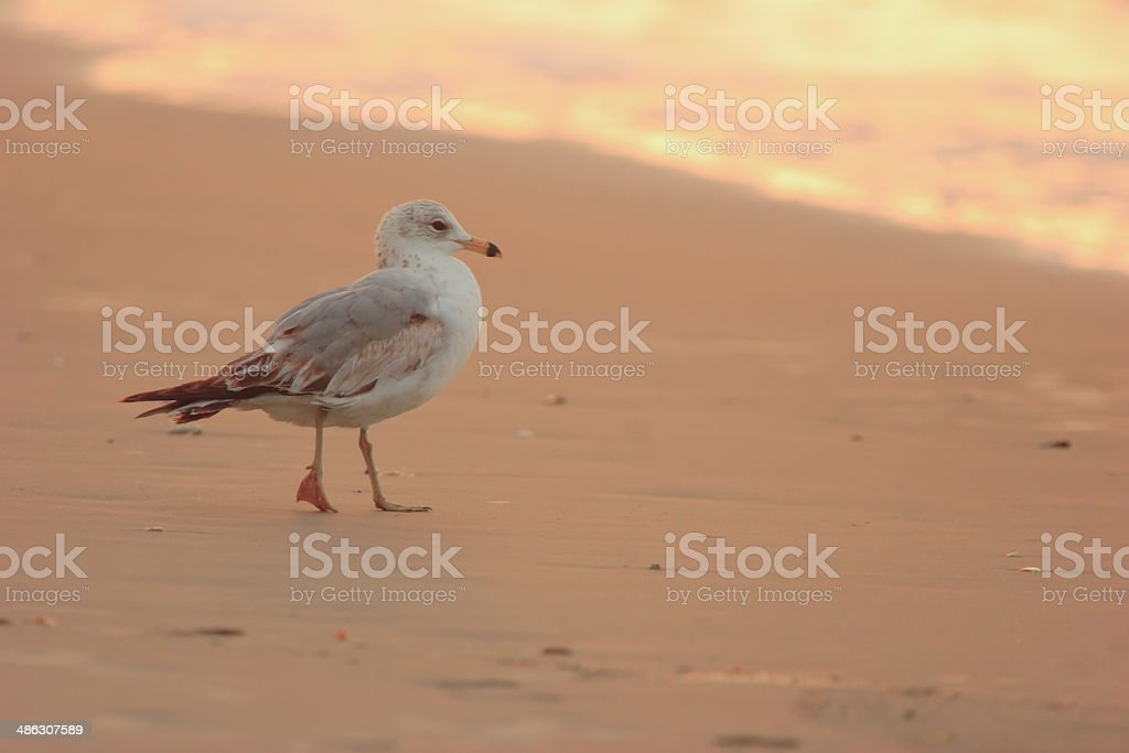 Gull on sandy beach in early morning stock photo