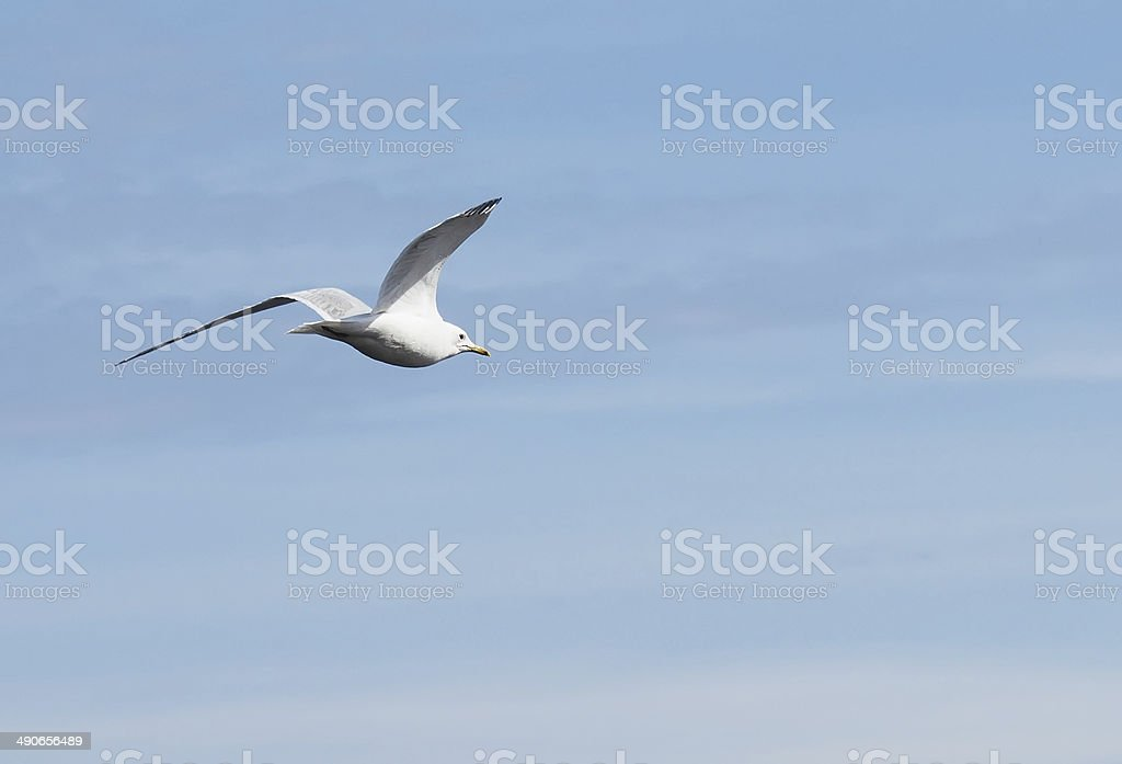Gull on the lake stock photo