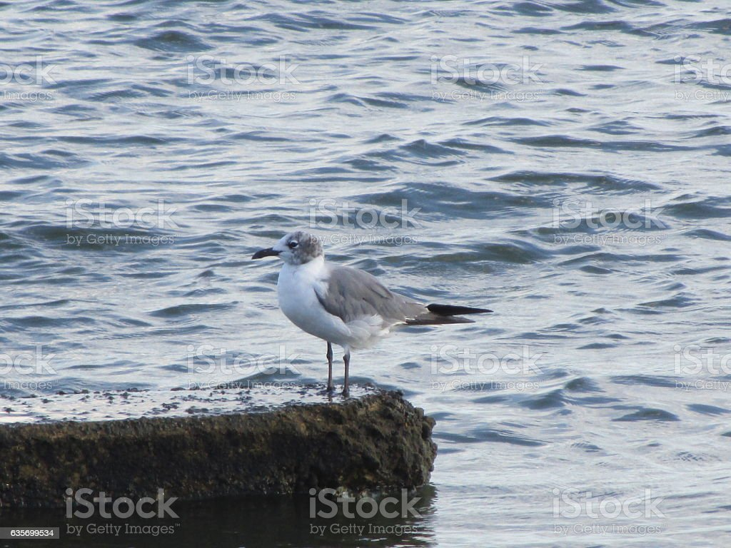 Gull royalty-free stock photo