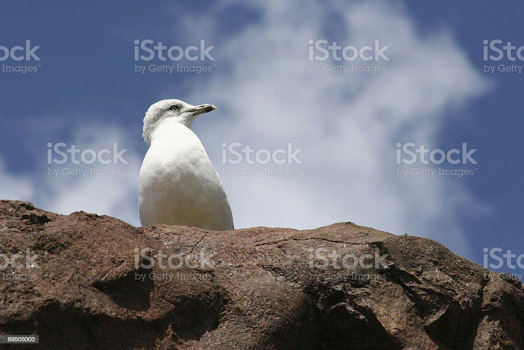 gull photo libre de droits