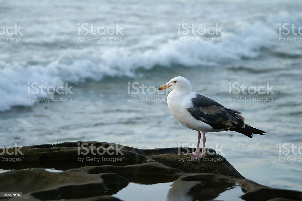 Gull Rock Sitting Enjoying the Sunset royalty-free stock photo