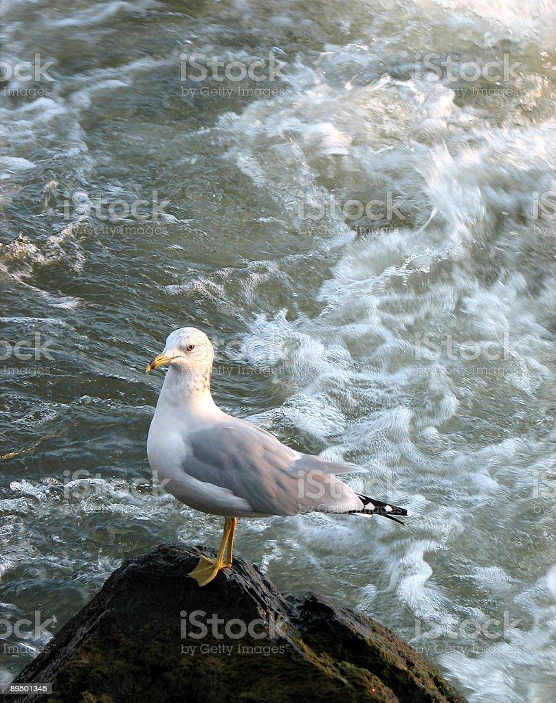 Gull standing on a rock at sunset royaltyfri bildbanksbilder