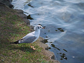 Gull standing on the waterside