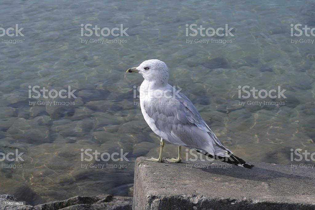 Gull Waiting for Dinner royalty-free stock photo