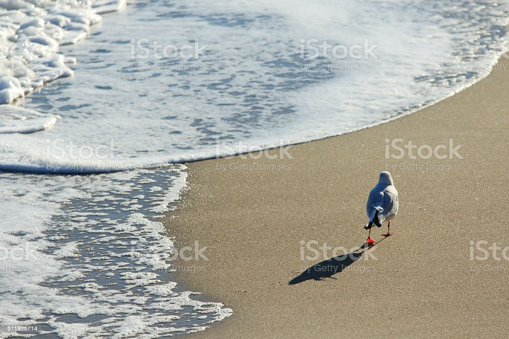 Gull walks along the sea stock photo