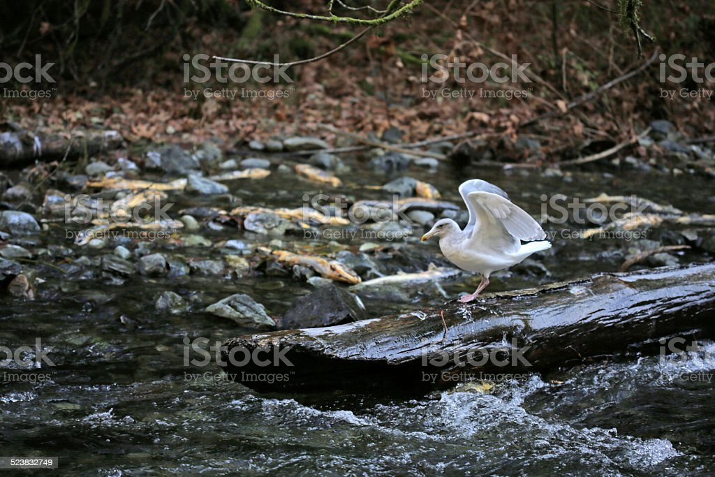 Gull Watching Salmon Run in Goldstream River, Vancouver Island, Canada stock photo