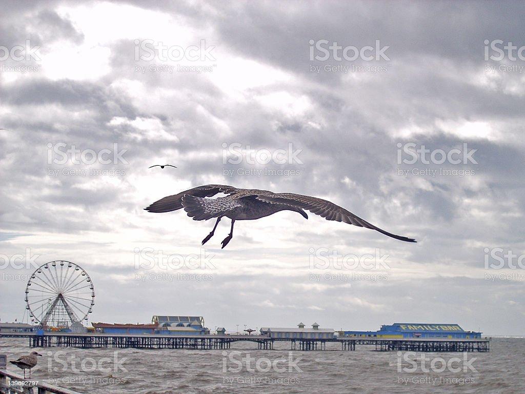 Gull,Blackpool royalty-free stock photo