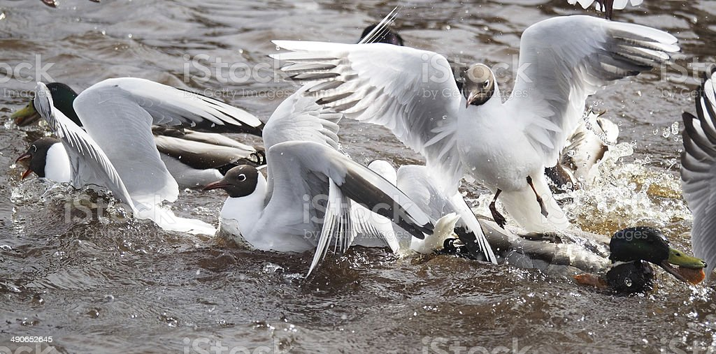 Gulls and duck in fight for food stock photo
