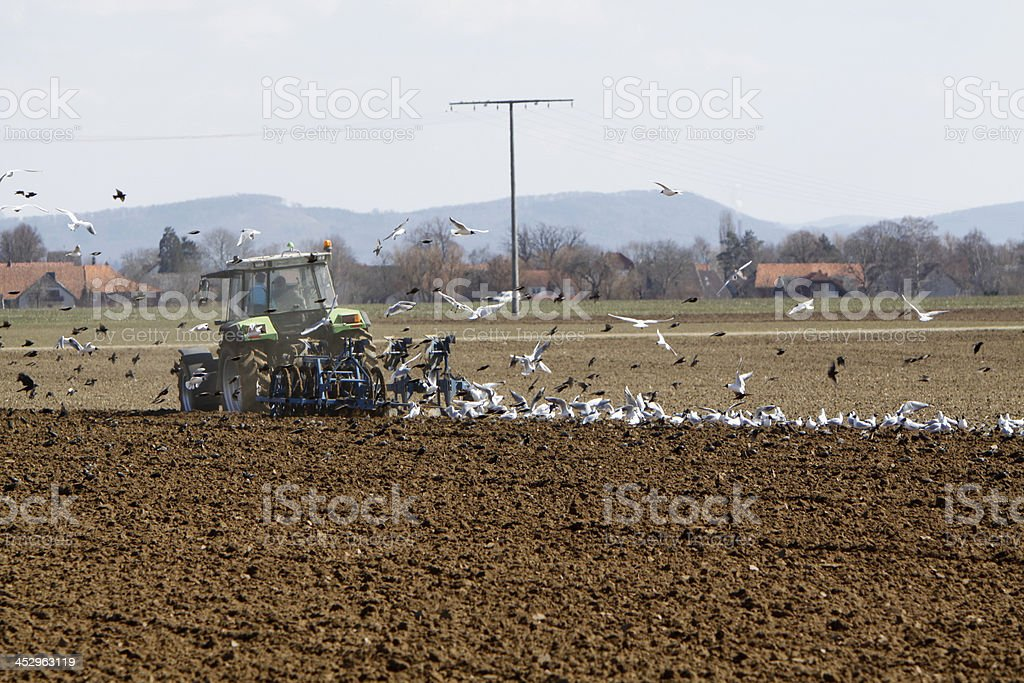 Gulls and starlings follow a tractor plowing stock photo