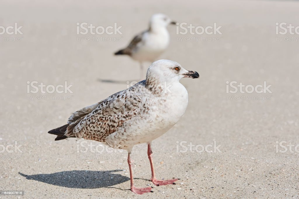 Gulls Birdlings on the Sand stock photo
