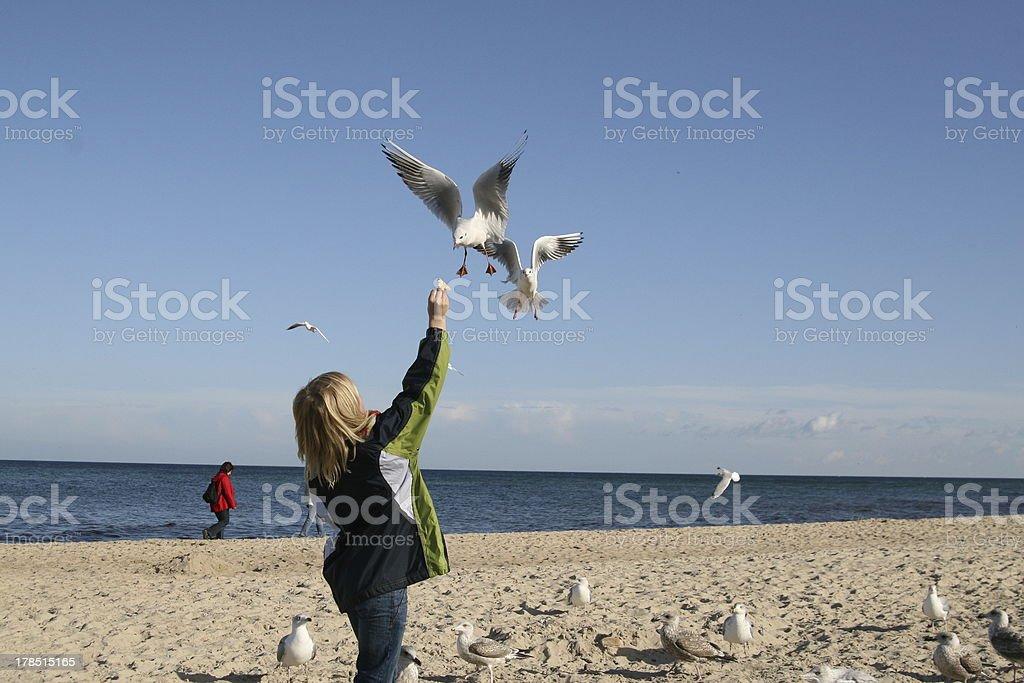 gulls by the feeding royalty-free stock photo
