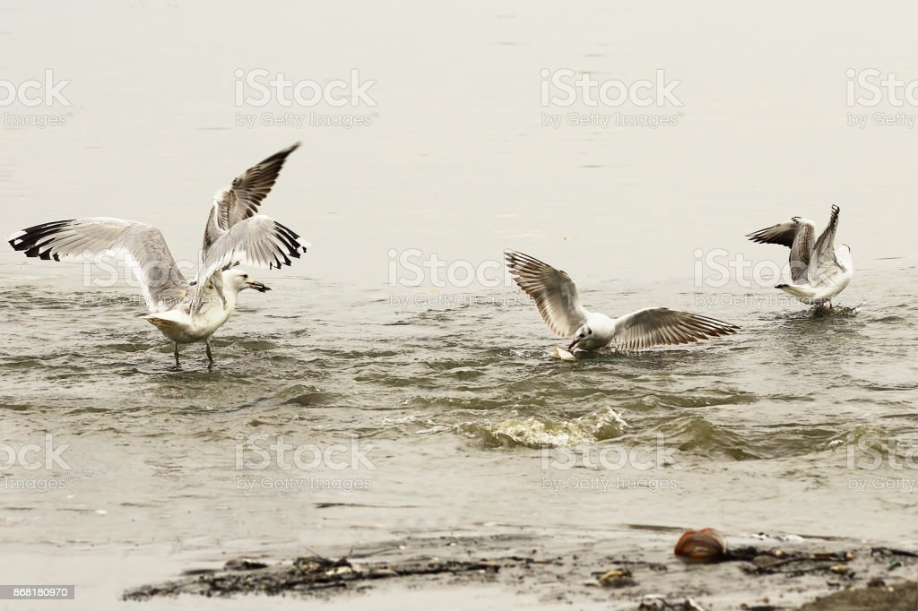 gulls fighting for food on fishing spot stock photo