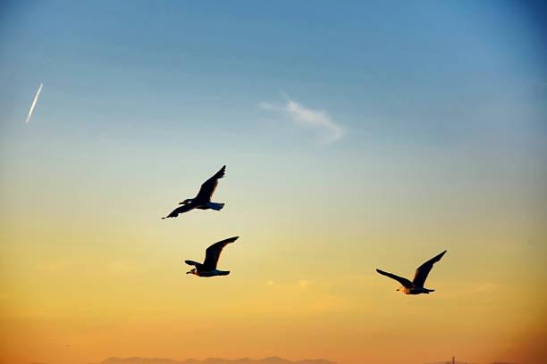 gulls in flight across a sunset sky - uccello marino foto e immagini stock